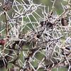 2016-10-08 Benson Tanzania Africa (Sat) Safari Day 14 Serengeti Grumeti - Whistle Thorn Acacia 01