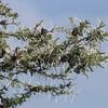 2016-10-08 Benson Tanzania Africa (Sat) Safari Day 14 Serengeti Grumeti - Whistle Thorn Acacia 02