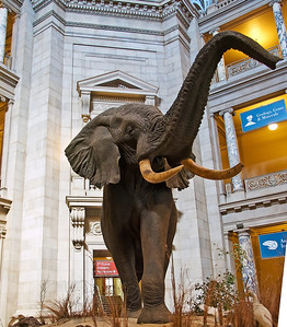 Elephant inside the Smithsonian Institute of Natural History.