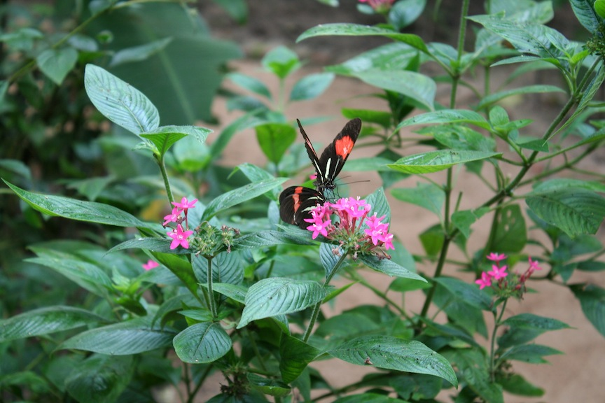 Butterflies in Santa Cruz Mariposario
