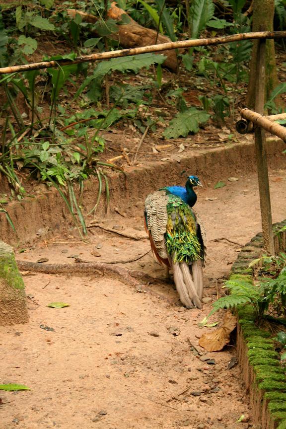 Peacock in Aviary of Santa Cruz Mariposario