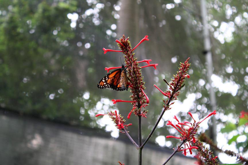 Monarch butterfly in Santa Cruz Mariposario