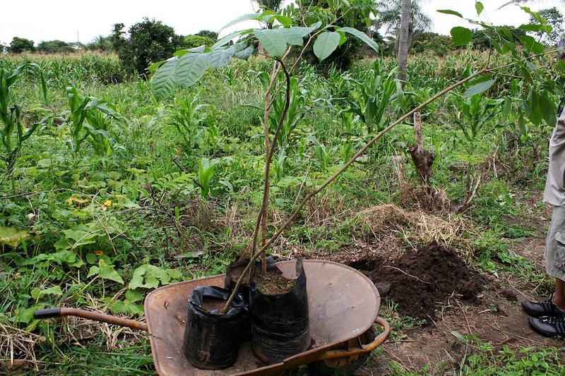Mahogony Trees  Servicios Agrícolas de Reforestación del Medioambiente en Santa Cruz, Bolivia