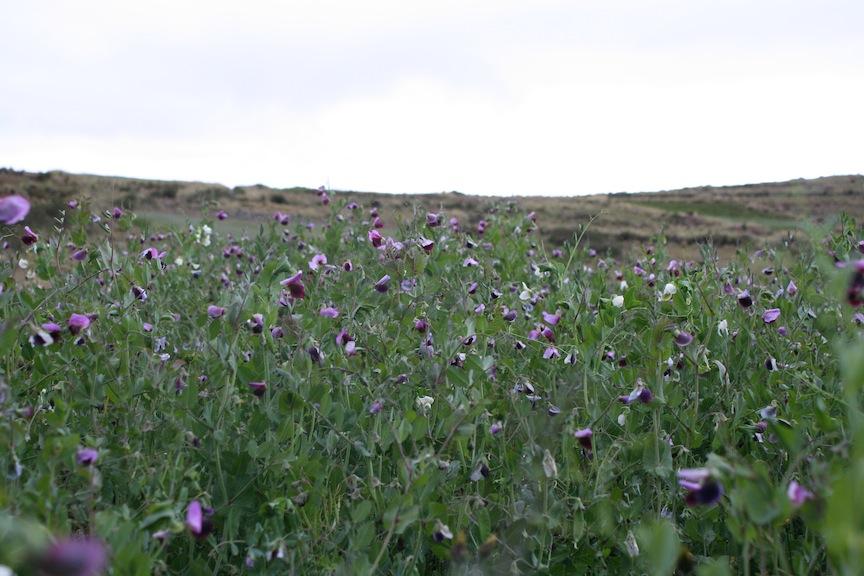 Sweetpea field