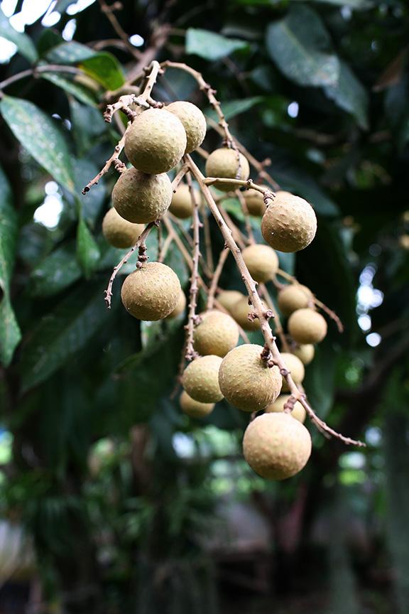 ลำใย Lumyai  One of my favorite fruits