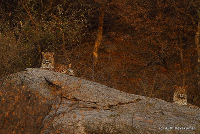 Leopard Scape