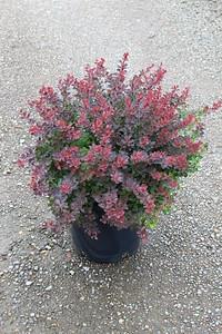 Berberis 'Crimson Pygmy' #5