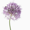 Allium 'Gladiator'