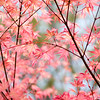 Acer, Maple