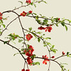 Chaenomeles japonica, Japanese quince