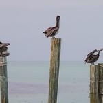 Three pelicans at Robbie's Marina