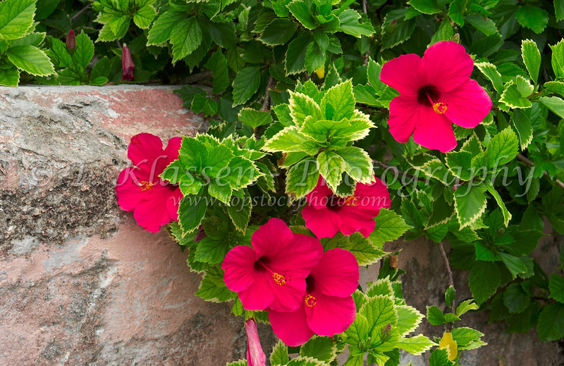 Red hibiscus flowers growing along a fence in St. George's, Bermuda, British Overseas Territory.