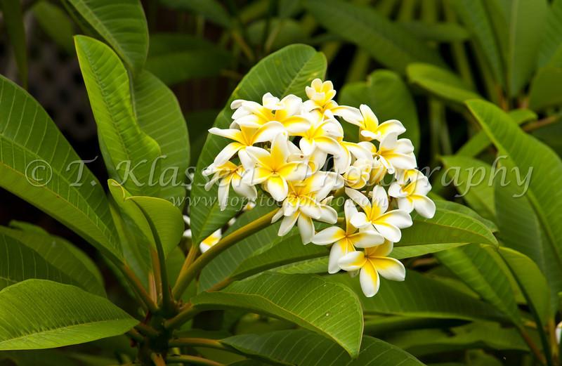 A group of plumeria flowers in St. George's, Bermuda, British Overseas Territory.