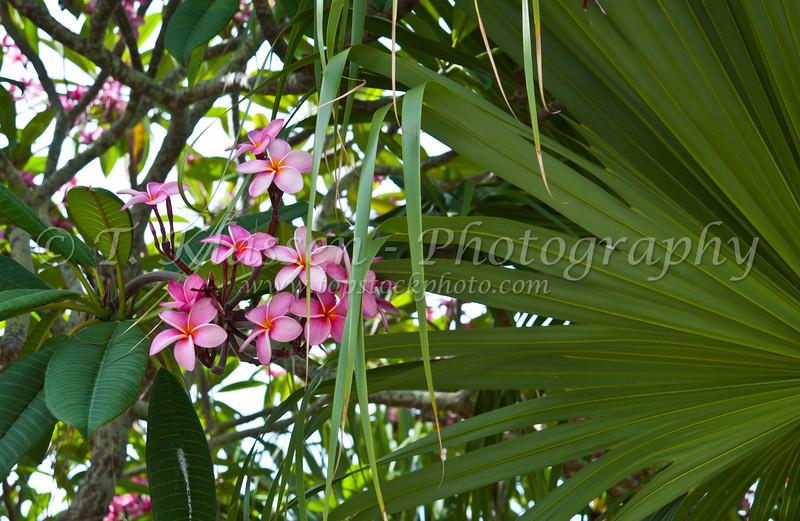 Tropical plumeria flowers blooming in St. George's, Bermuda.