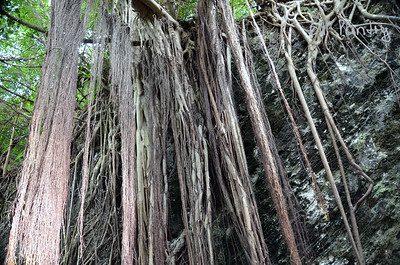Indian Laurel roots, Railway Trail, Paget, Bermuda