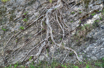 Laurel tree roots. Along the Railway Trail, Southampton, Bermuda