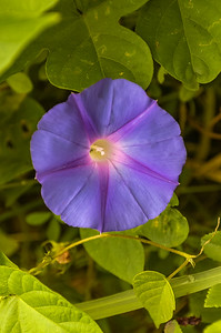 Bermuda Morning Glory