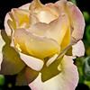 Laraine's great roses