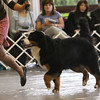 Bernese Mountain Dog Club of America (BMDCA) : 101 galleries with 11399 photos