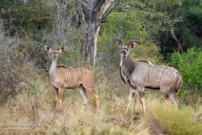 Male & Female Kudu