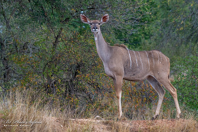 Kudu Female posing