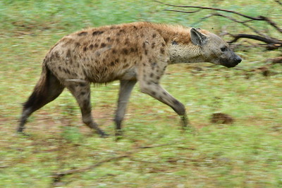 Spotted Hyena Motion Blur