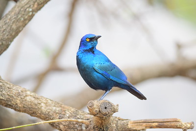 Cape Glossy Starling Closeup