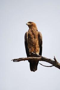 Tawny Eagle Sitting