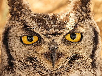 African Spotted Eagle Owl Face