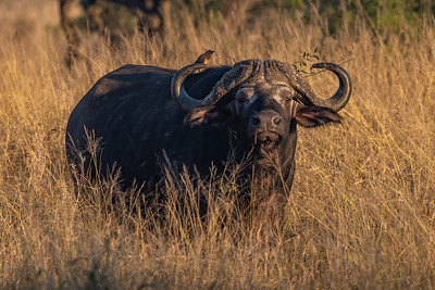 Mature Buffalo Between Grass