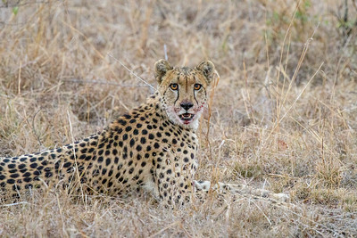 African Cheetah After Kill