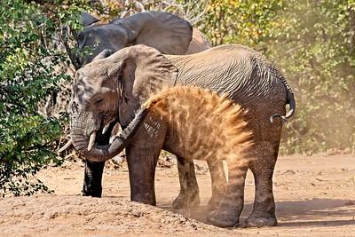 Elephants Dust Bathing