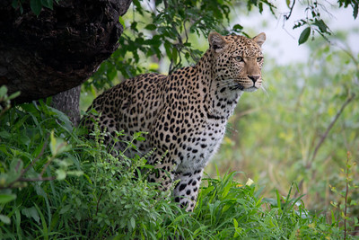 Leopard young male
