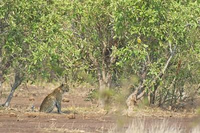 Shady Leopard