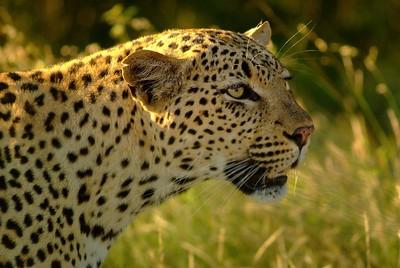 Closeup Leopard