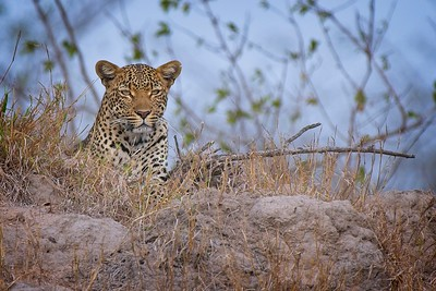 Leopard Between Grass