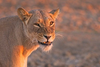 Lioness Up Close