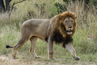 Mature Male Lion