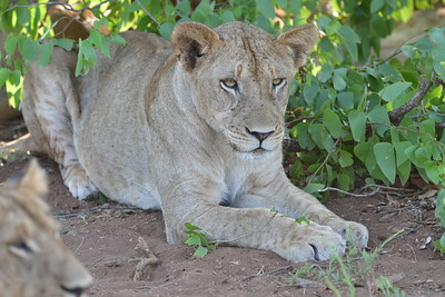 Grumpy Lioness Closeup
