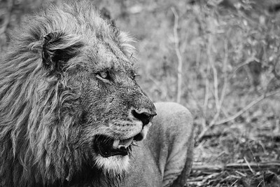 Black & White Lion Closeup