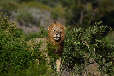 Male Lion In Bush