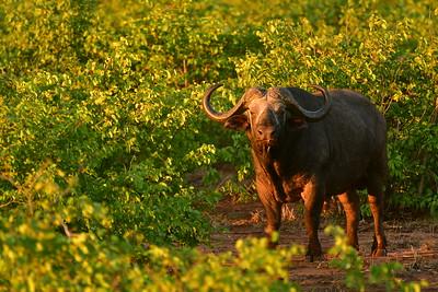 Cape Buffalo With Sunset