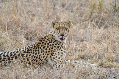 African Cheetah After Kill