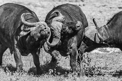 3 Buffalo Fighting