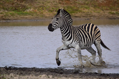 Zebra Prancing In Waterhole