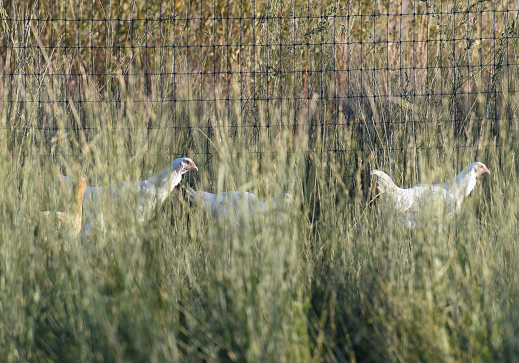 ". Chickens wander around in the tall grasses Monday, Sept. 18, 2017, at  Long Shadow Farm, a small family farm in Berthoud.  Animal rights activists recenlty posted a video saying they ""rescued\"" three chickens from the farm.  (Photo by Jenny Sparks/Loveland Reporter-Herald)"