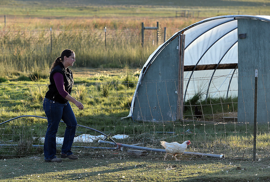 """. Kristin Ramey works on her family farm, Long Shadow Farm, Monday, Sept. 18, 2017, in Berthoud. Animal rights activists recenlty posted a video saying they \""""rescued\"""" three chickens from the farm. (Photo by Jenny Sparks/Loveland Reporter-Herald)"""