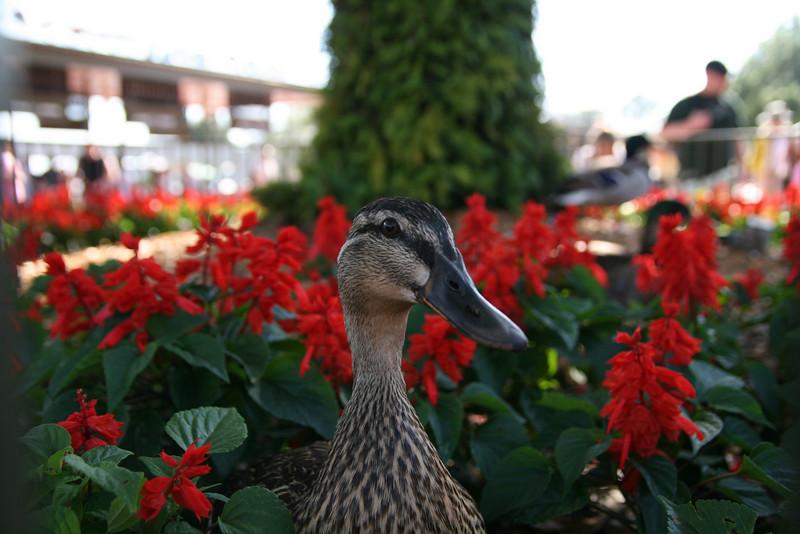 flower, flower, flower, duck, flower, flower...
