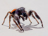 Jumping spider on kitchen window sill