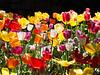 Ananda Tulip Festival